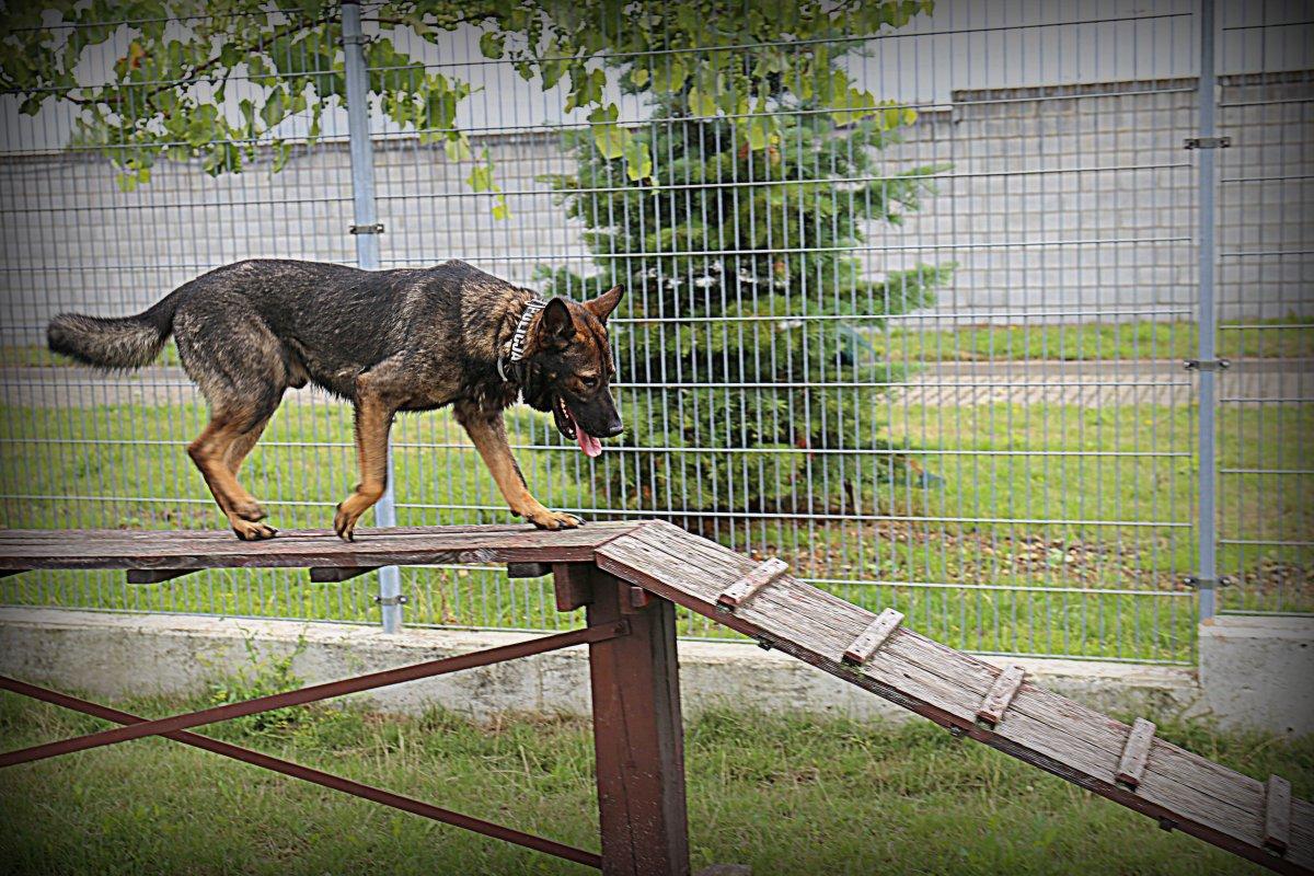 Pies służbowy pokonuje przeszkody.