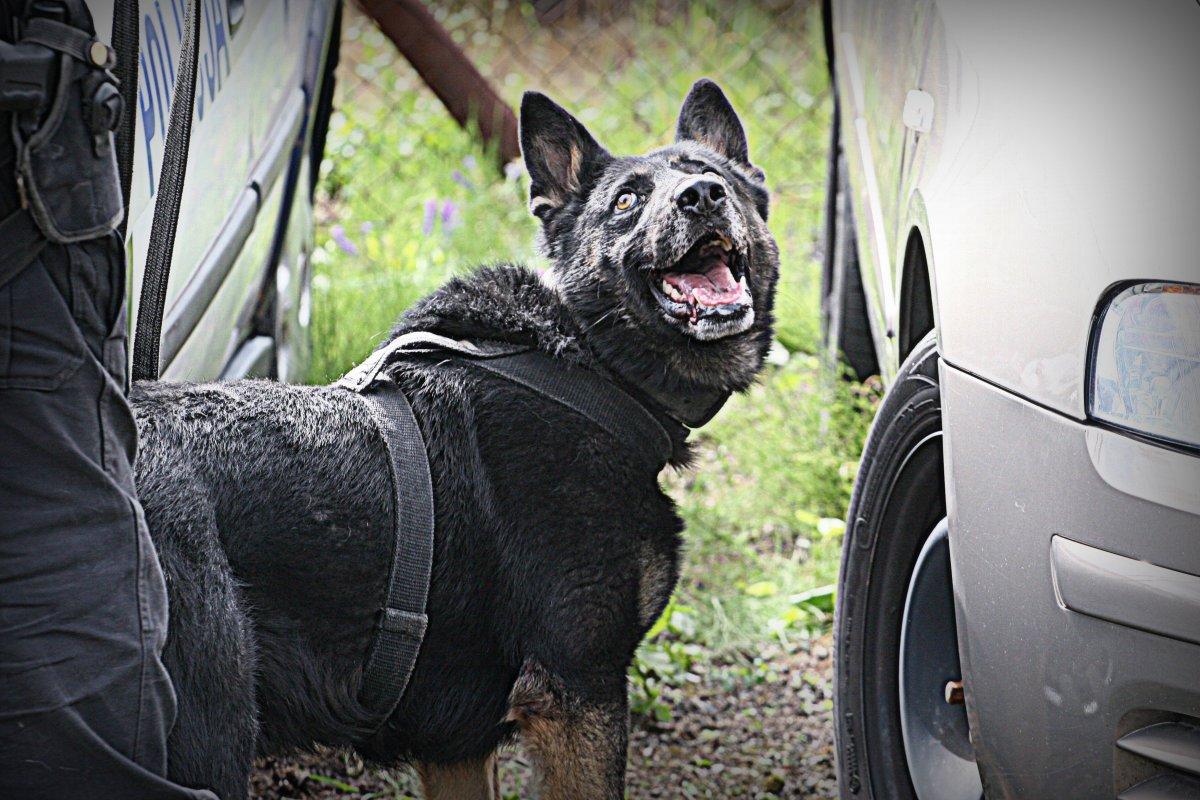 Pies służbowy.